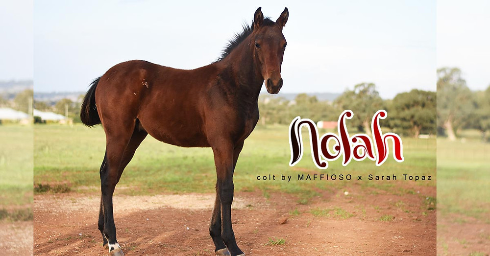 Nolah, a colt sired by Maffioso, standing at Clarinda Park Horses.