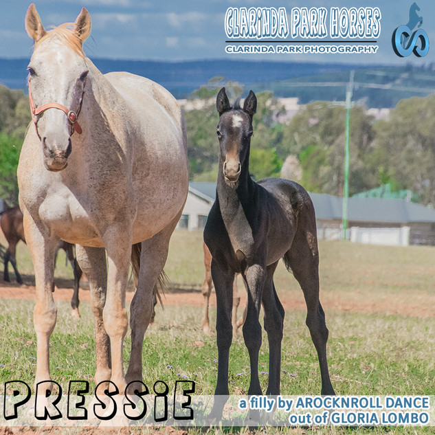 """Clarinda Park Horses"" Foals 2018 - AROCKNROLL DANCE filly out of Gloria Lombo"