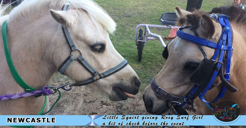 New South Wales Mini Trots Association. Little Squirt giving Roxy Surf Girl a bit of check before last night event