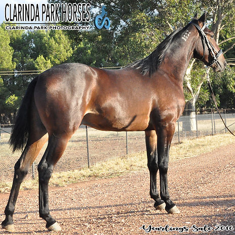 """EDDIE"" is a Courage Under Fire colt out of mare Edna Anne. He was presented and sold at the horse auction of Bathurst Goldcrown Yearlings Sale 2016."