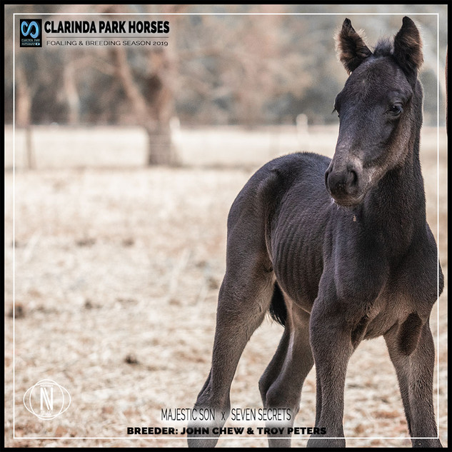 Clarinda Park Horses | Foals 2019 | a colt by MAJESTIC SON out of SEVEN SECRETS