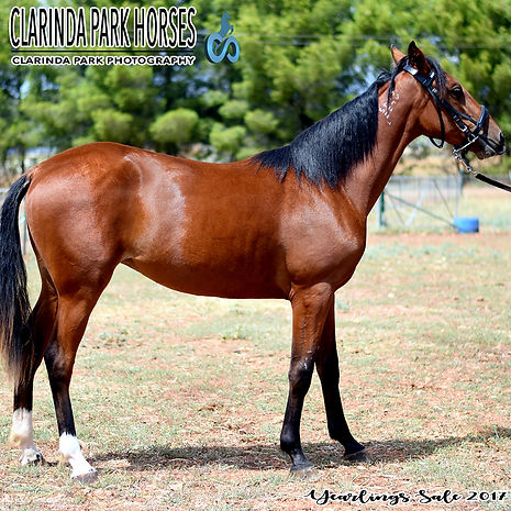 """PEBBLES"" is a Petrock filly out of mare Hidden Gem. He was presented and sold at the horse auction of Bathurst Goldcrown Yearlings Sale 2017."