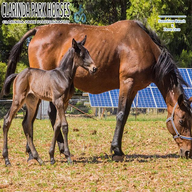 """Horse Foals Photo 2017 - """"TINA"""" - Sunshine Beach x Zena Zara"""