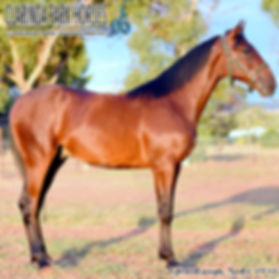"""""""TEDDY"""" is an Art Major colt out of mare Edna Anne. He was presented and sold at the horse auction of Bathurst Goldcrown Yearlings Sale 2017."""