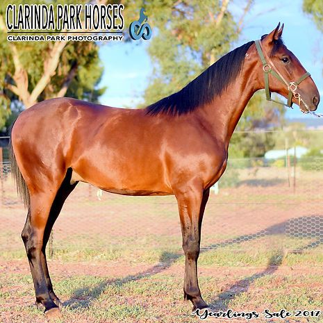 """TEDDY"" is an Art Major colt out of mare Edna Anne. He was presented and sold at the horse auction of Bathurst Goldcrown Yearlings Sale 2017."