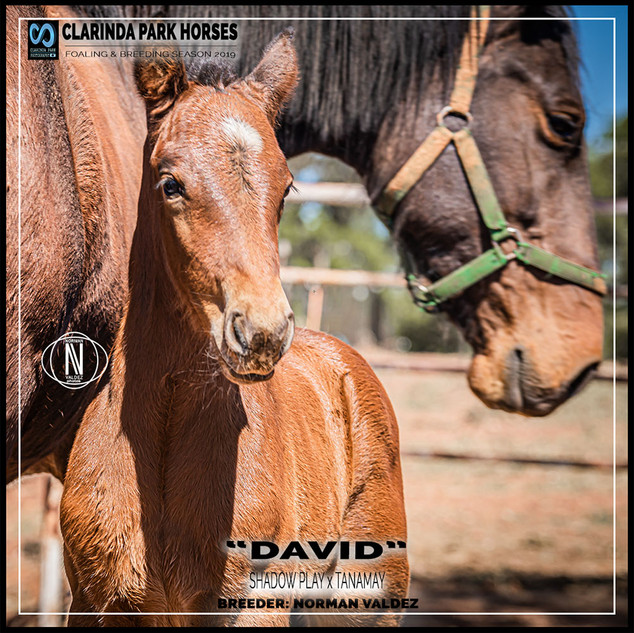 "Clarinda Park Horses | Foals 2019 | ""DAVID"" a SHADOW PLAY colt out of TANAMAY"