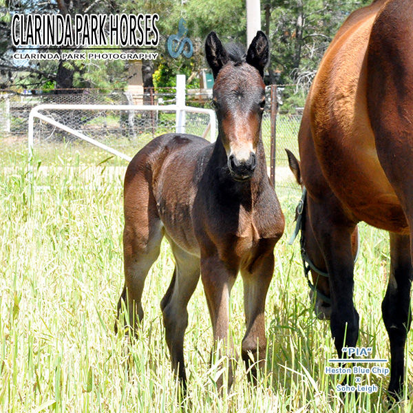 "Horse Foals Photo 2016 - ""PIA"" - Heston Blue Chip x Soho Leigh"