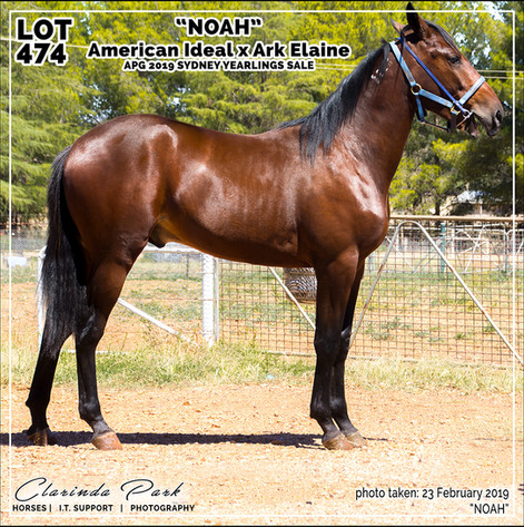 2019223 CLARINDA PARK HORSES - Yearling Sale 2019 - APG 2019 - Noah - 3rd Bath - 001