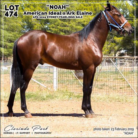 2019223 CLARINDA PARK HORSES - Yearling Sale 2019 - APG 2019 - Noah - 3rd Bath - 001