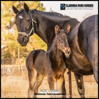 Clarinda Park Horses | Foals 2019 | VINCENT out of SPERIAMO