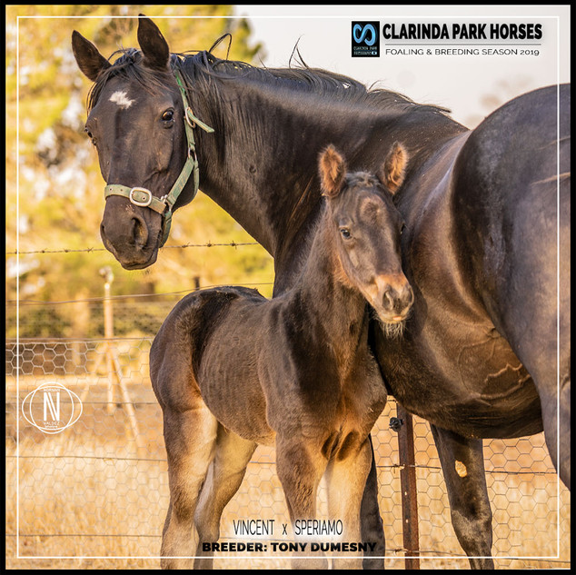 Clarinda Park Horses | Foals 2019 | VINCENT out of SPERIAMO