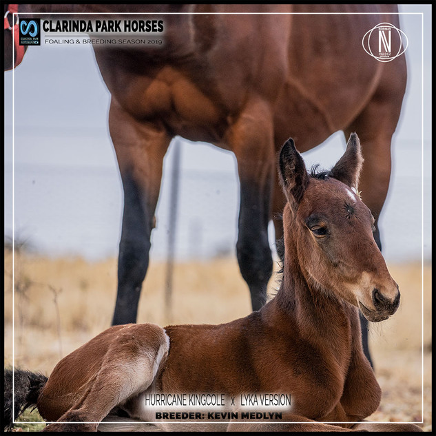 Clarinda Park Horses | Foals 2019 | a filly by HURRICAN KINGCOLE out of LYKA VERSION