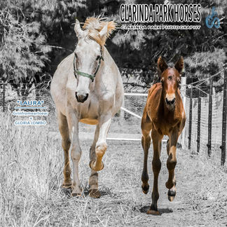 """Horse Foals Photo 2017 - """"LAURA"""" - Grinfromeartoear out of Gloria Lombo"""