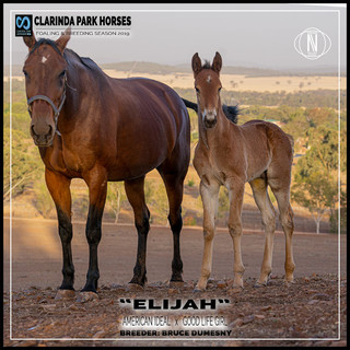 Clarinda Park Horses | Foals 2019 | AMERICAN IDEAL out of GOOD LIFE GIRL