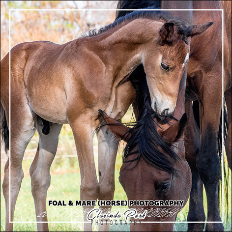 FOAL and MARE (HORSE) PHOTOGRAPHY