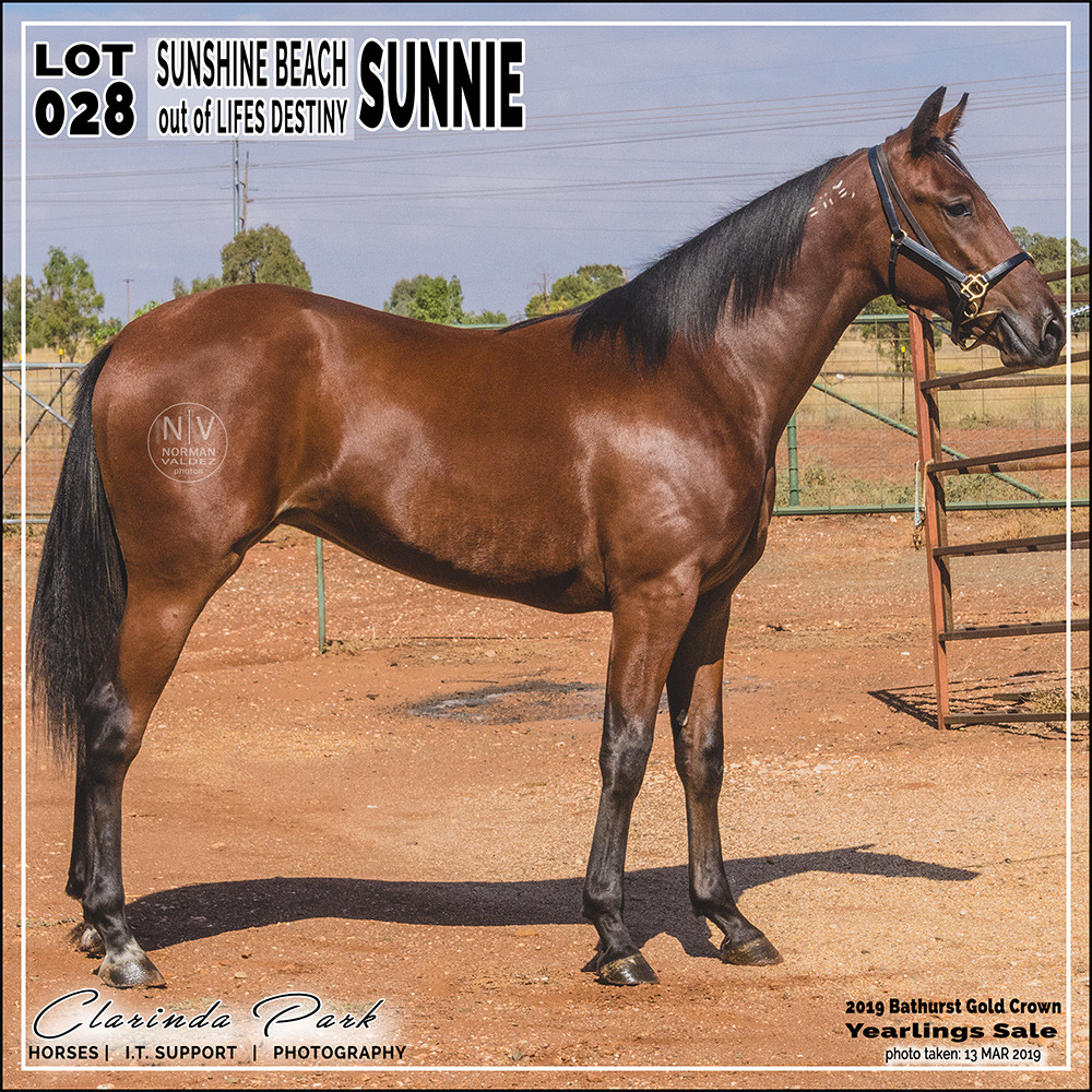 """""""SUNNIE"""", a filly by Sunshine Beach out of Lifes Destiny. Lot 28 in 2019 Bathurst Gold Crown Yearlings Sale at Bathurst Harness Racing Club"""