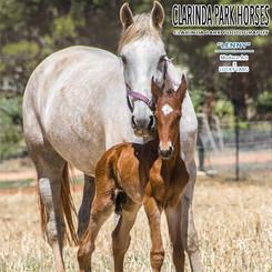 Foaling Down Season 2019 at Clarinda Park Horses