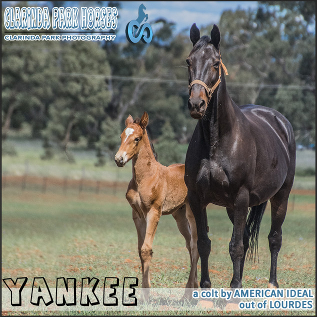 """Clarinda Park Horses"" Foals 2018 - an AMERICAN IDEAL colt out of LOURDES"