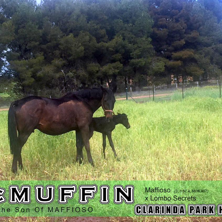 Maffioso | Clarinda Park Horses