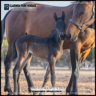 Clarinda Park Horses | Foals 2019 | YANKEE ROCKSTAR out of WATCH THE DEALER