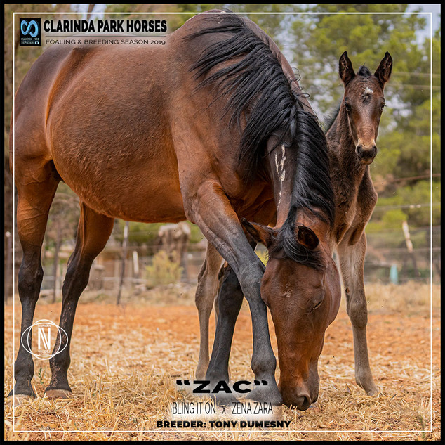 Clarinda Park Horses | Foals 2019 | a colt by BLING IT ON out of ZENA ZARA