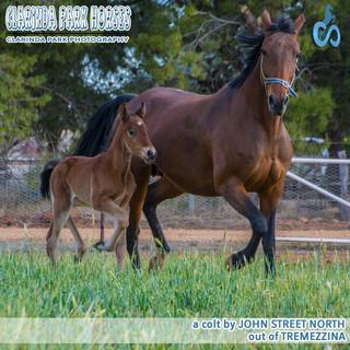 """Clarinda Park Horses"" Foals 2018 - JOHN STREET NORTH colt out of Tremezzina"