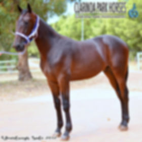 """""""TARZAN"""", known now as Spanski, is an Art Major colt out of mare Esther Jane. He was presented and sold at the horse auction of APG Sydney Yearlings Sale 2017."""
