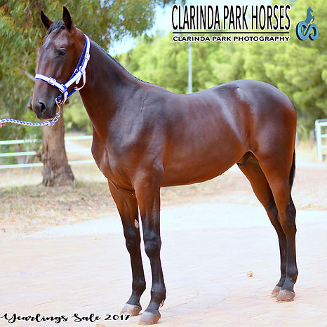 """TARZAN"", known now as Spanski, is an Art Major colt out of mare Esther Jane. He was presented and sold at the horse auction of APG Sydney Yearlings Sale 2017."