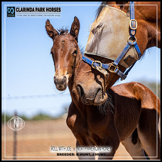 Clarinda Park Horses | Foals 2019 | a colt by ROLL WITH JOE out of NORTH AMERICAN HONEY