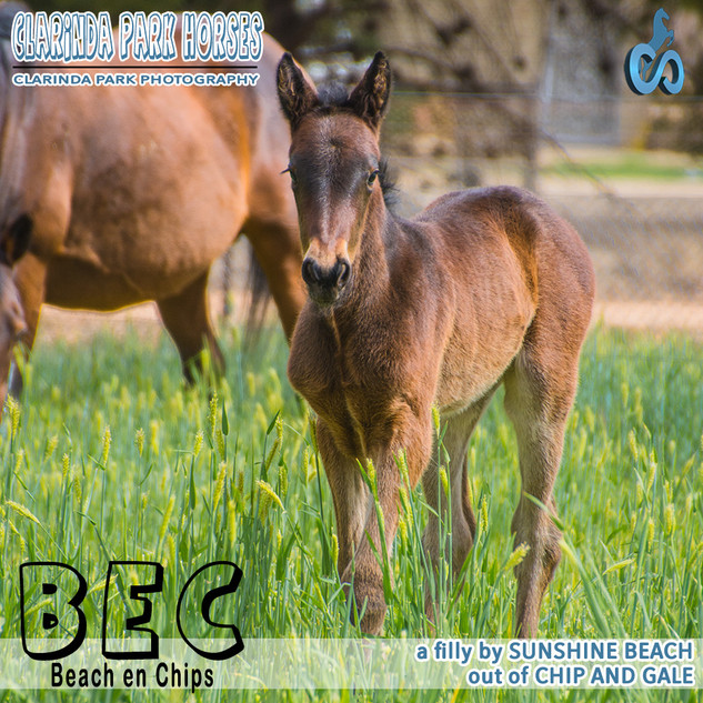 """Clarinda Park Horses"" Foals 2018 - Sunshine Beach filly out of a winning mare Chip and Gale"