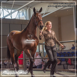 APG 2019 Sydney Yearlings Sale Lot 474: NOAH, a colt by American Ideal out of Ark Elaine