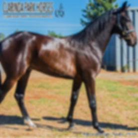 BOOTS is a Major Bronski colt out of mare Lady Dora Lombo. He was presented and sold at the horse auction at Bathurst Goldcrown Yearlings Sale 2018.