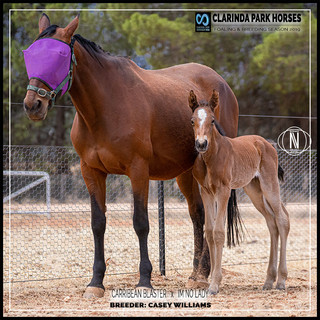 Clarinda Park Horses | Foals 2019 | a filly by CARRIBEAN BLASTER out of IM NO LADY