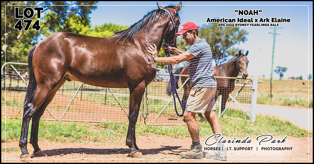 Impressive Yearling for the Australian Pacing Gold APG 2019 Yearlings Sale