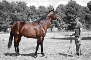 Maffioso, standing at Clarinda Park Horses, a horse breeding farm located at Parkes.