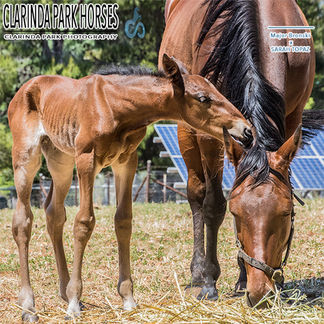Horse Foals Photo 2017 - Major Bronski x Sarah Topaz