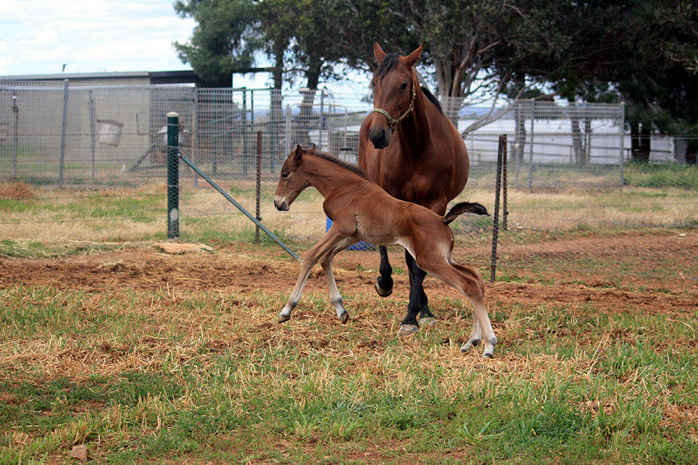 """Naamah"" and her mare ""Ark Elaine"". This is when Naamah was 4 days old. Naamah's sire is Art Major"
