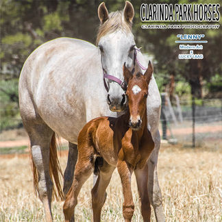 """Horse Foals Photo 2017 - """"LENNY"""" - Modern Art colt out of Lucky Laag"""
