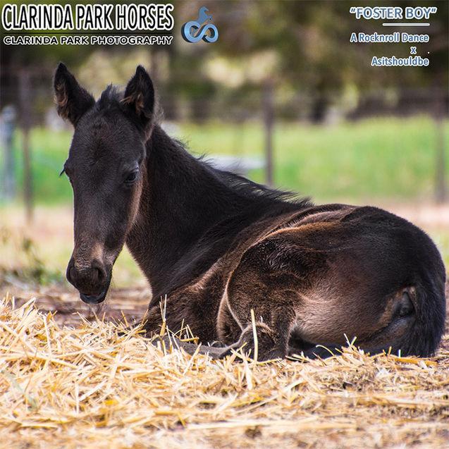 """Horse Foals Photo 2017 - """"FOSTER BOY"""" - ARocknroll Dance x Asitshouldbe"""