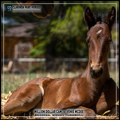 Million Dollar Cam filly out of Venie McDee