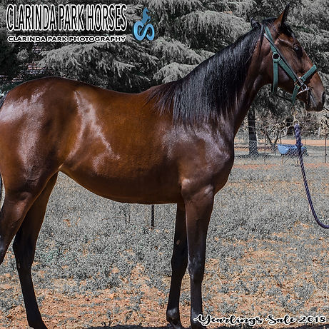 HANA is a Betterthancheddar filly out of mare Zena Zara. She was presented and sold at the horse auction at Bathurst Goldcrown Yearlings Sale 2018.