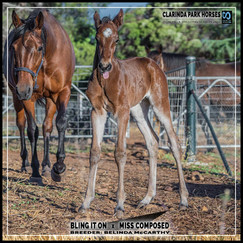 Bling It On colt out of Miss Composed