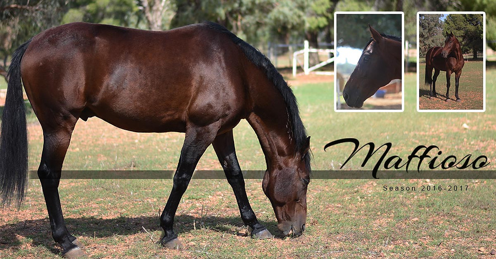 MAFFIOSO, an australian bred Stallion, breed from one of the best, Clarinda park Horses