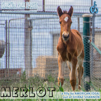 Horse Foals Photo 2018  - MERLOT - an AMERICAN IDEAL filly out of Shiraz Shannon