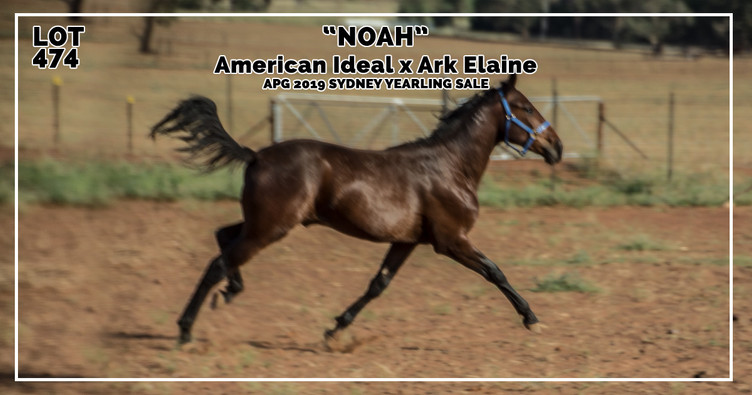 NOAH, a colt by American Ideal out of Mare Ark Elaine
