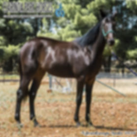 """Gidget"" is a Sunshine Beach filly out of the mare My Lively Lass. She was presented during the APG Sydney Yearlings Sale 2018"