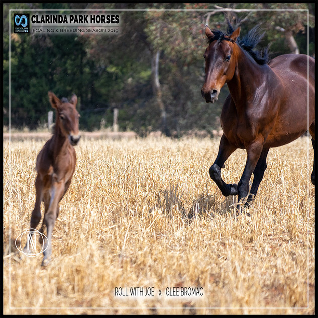 Clarinda Park Horses | Foals 2019 | a colt by ROLL WITH JOE out of GLEE BROMAC NZ