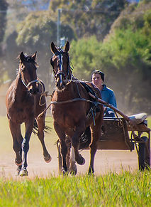 Breaking In and Pre-Training of harness racing horses by Clarinda Park Horses.