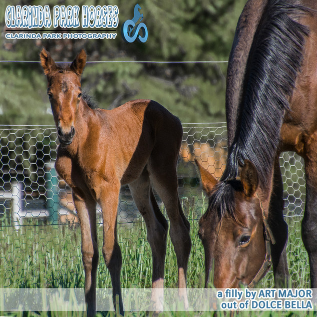 """Clarinda Park Horses"" Foals 2018 - Art Major filly out of Dolce Bella"