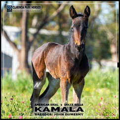 American Ideal filly out of Dolce Bella